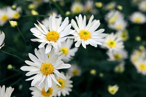 Vương vấn hoa cúc họa mi