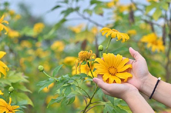 Mùa hoa dã quỳ ở Đà Lạt