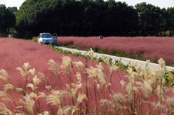 Cánh đồng cỏ hồng