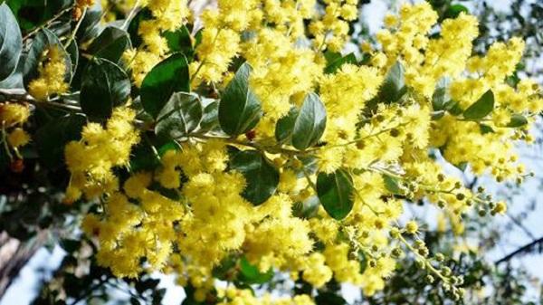 Mimosa – Trinh Nữ Hoa Vàng