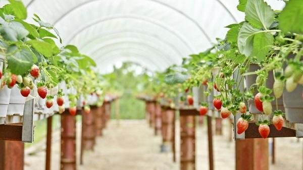 Vườn dâu tây Biofresh