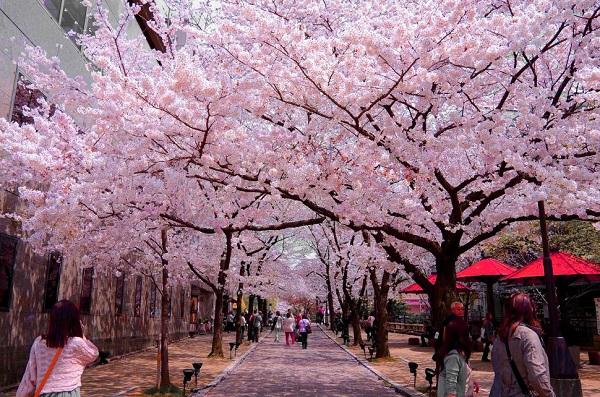 Lễ hội hoa anh đào Đà lạt