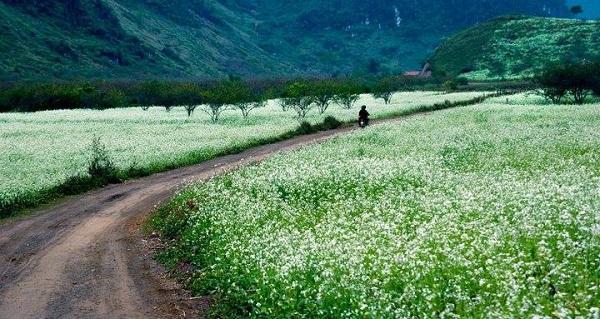 Mùa hoa cải Mộc Châu