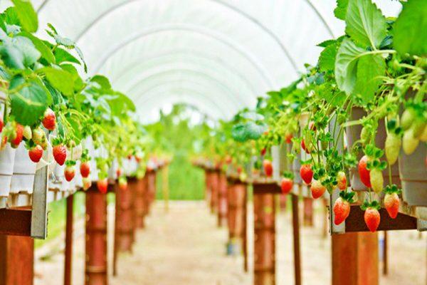 Vườn dâu Biofresh